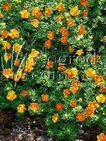 Pięciornik krzewiasty pomarańczowy