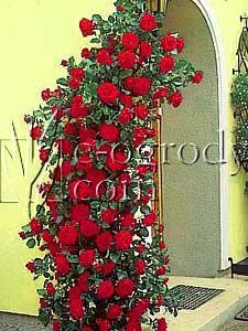 Róża Paul Scarlet